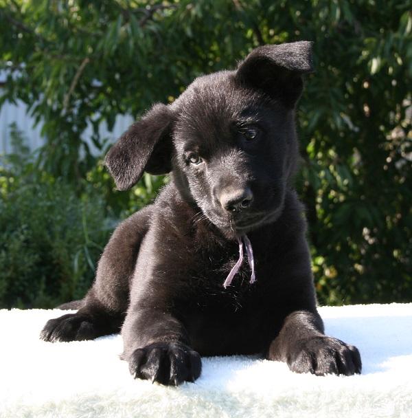 Актировка наших черных щенков прошла!