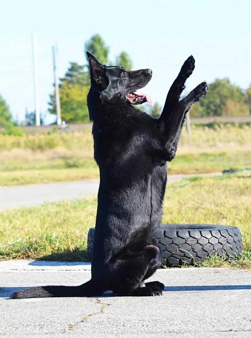 30 ноября 2020 родились черные щенки!